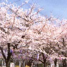 三ツ和公園の桜